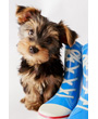 Yorkshire terrier sitting with red, white and blue shoes