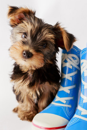 Cute Yorkshire Terrier with Blue Shoes